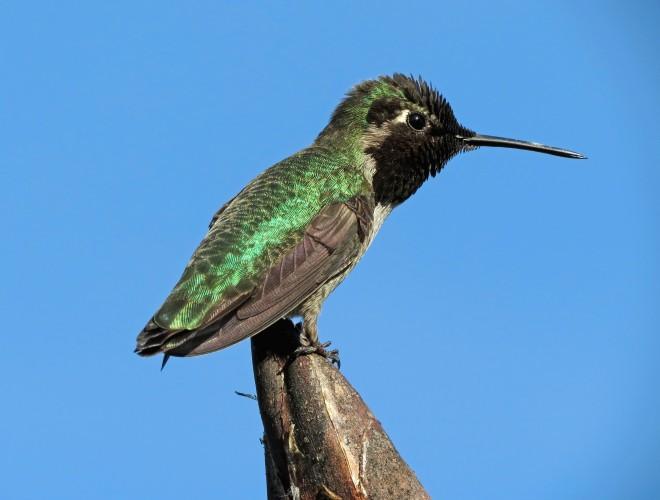 Annas-Hummingbird