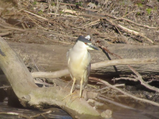 BC-Night-Heron