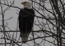 Bald-Eagle-by-the-canal