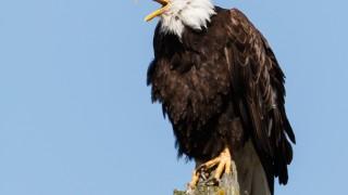 Bald-eagle-8667
