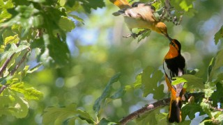 Baltimore-Orioles