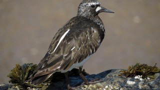 Black-Turnstone