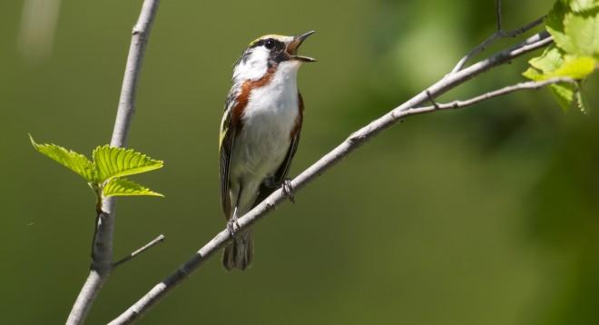 Chestnut-sided-Warbler-6