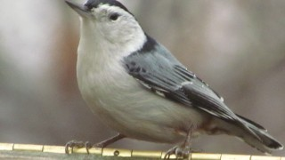 Common-Nuthatch