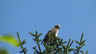 Country-Red-tail-Cold-Spring-Rd