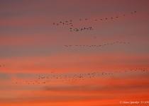 Crane-Sandhill-13-1094