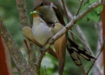 Cuckoos-worm-nice_edited-2