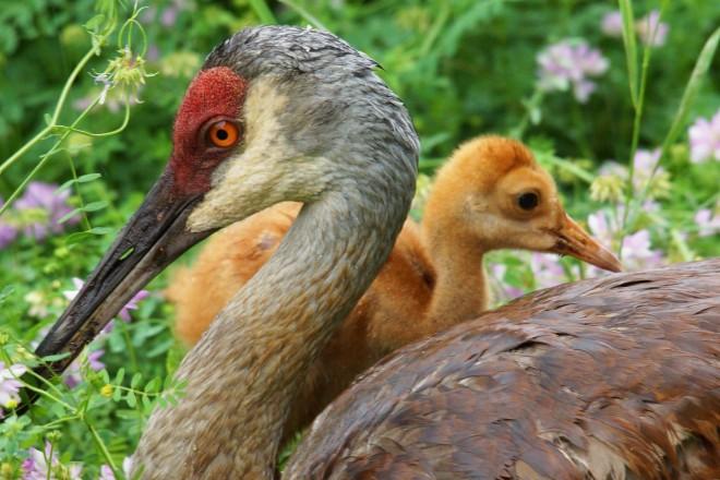 Sandhill Cranes ©2013 Sharon Sauriol