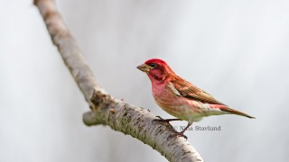 DSC1570-Male-Purple-Finch-Canada