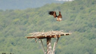 Balbuzard pêcheur arrivant au nid