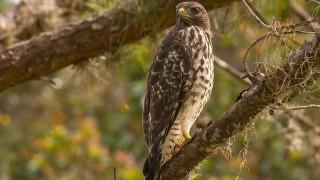 DSC_8594-Red-shouldered-Hawk