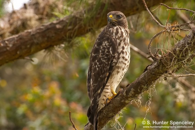 DSC_8594-Red-shouldered-Hawk