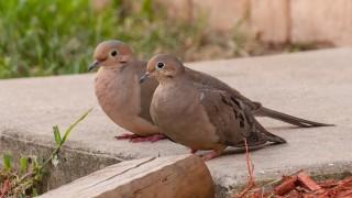 DSC_9087-Mourning-Doves