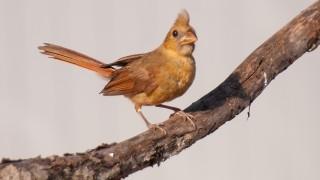 DSC_9091-Northern-Cardinal