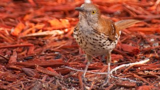 DSC_9374-Brown-Thrasher