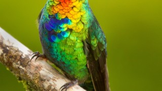 Fiery-throated-Hummingbird1