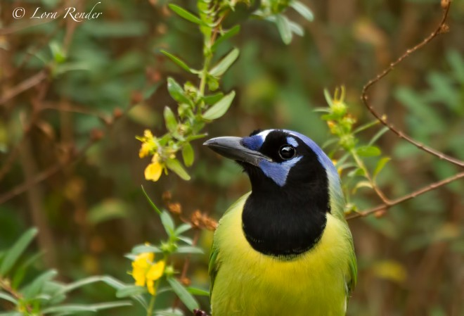 Green-Jay-Portrait_edited-1