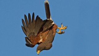 Harris-Hawk-Nose-Dive