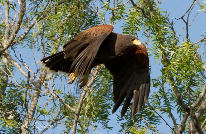 Harris-Hawk-Takeoff