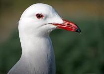 Heermanns-Gull