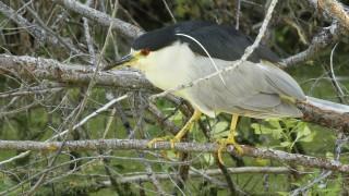Heron-Black-crowned-Night-2013-07-17-078a