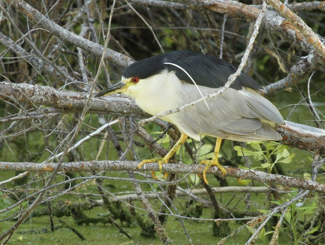 Heron-Black-crowned-Night-2013-07-17-078a