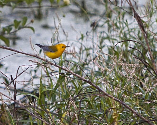 Prothonatary Warbler