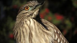 Juvenile-Black-crowned-Night-Heron