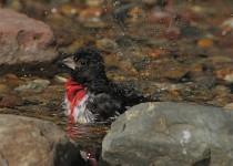 Male-Rose-Breasted-Grosbeak-Taking-Bath