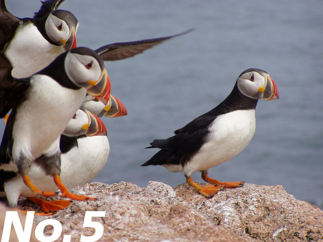Atlantic Puffins gather on a rock at Maine Coastal Islands National Wildlife Refuge. Photo by U.S. Fish and Wildlife Service