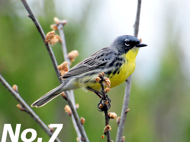 This Kirtland's Warbler was photographed in Adams County, Wisconsin. Photo by Joel Trick/U.S. Fish and Wildlife Service