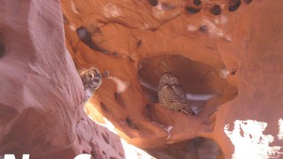 Two Mexican Spotted Owls look down from a canyon in Utah. Photo by Amie Smith/U.S. Fish and Wildlife Service