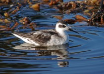 Red-necked-Phalarope-winter-plumage