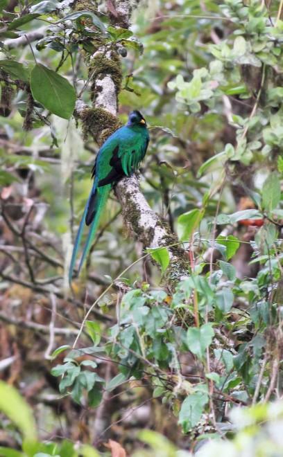Resplendent-Quetzal-1