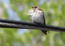 Rough-winged-Swallow