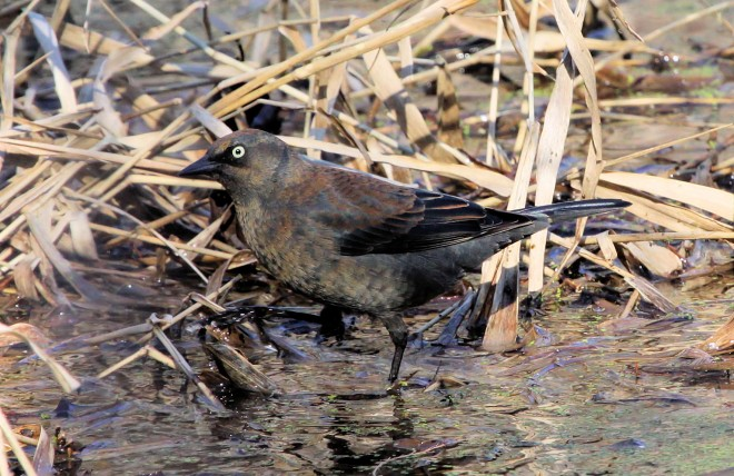Rusty-Blackbird