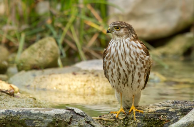 Sharp-shinned-Hawk1