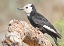 White-headed-Woodpecker-Cabin-Lake