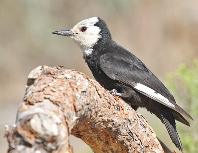 White-headed-Woodpecker-Cabin-Lake