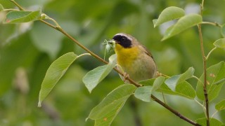 bobvt_20130707_yellowthroat100