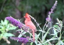 cardinalyardmitchell12july13
