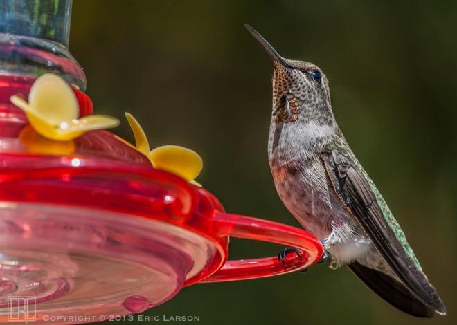 hummingbird_bwm