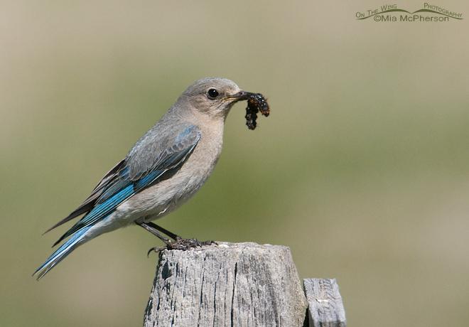 mountain-bluebird-female-prey-mia-mcpherson-7085