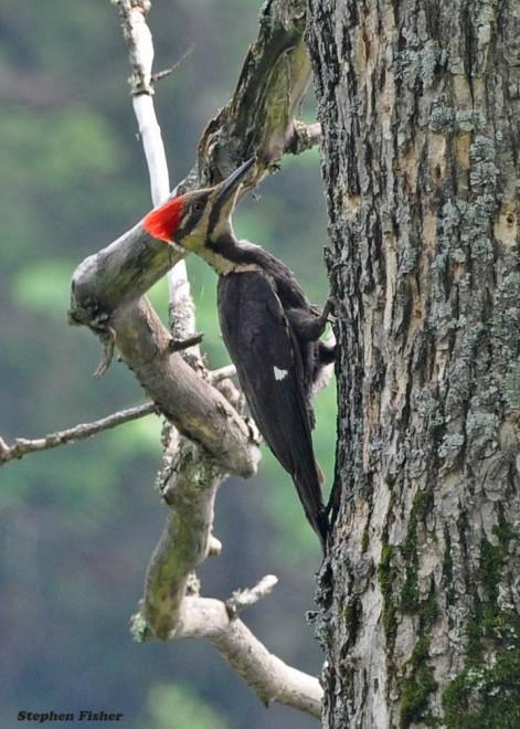 pileatedwoodpecker0861-copy