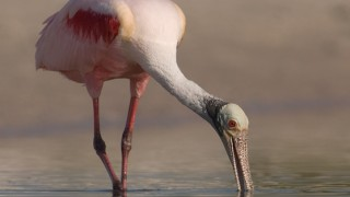 Roseate Spoonbill feeding in a quiet lagoon