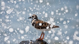 Ruddy Turnstone ©2013 David Hoffman