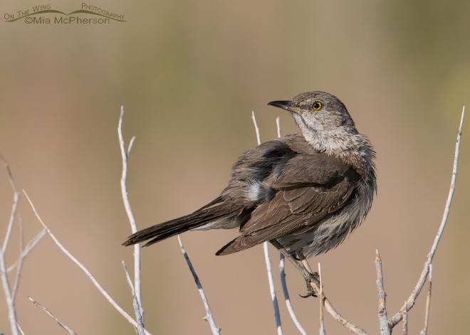 sage-thrasher-adult-preening-mia-mcpherson-1578