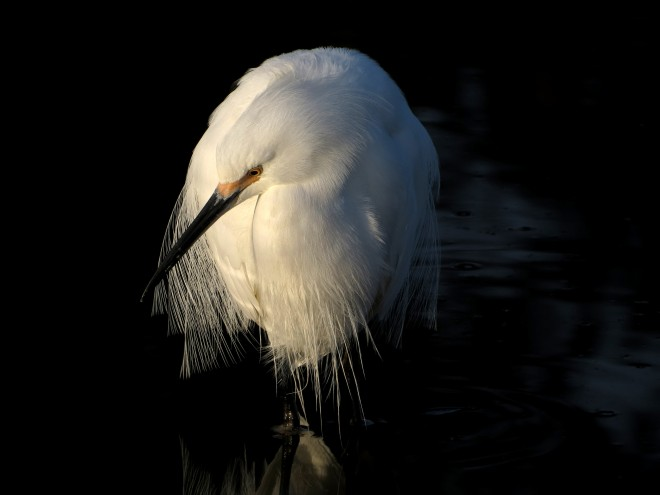 snowy-egret-3