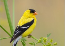 tn_American-Goldfinch_6716-1