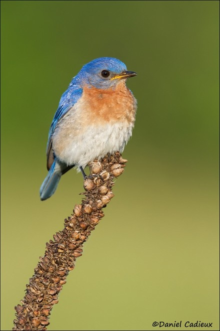 tn_Eastern-Bluebird_4061-1